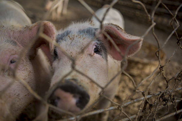 Remaining pigs on RC Farms are pictured, Wednesday, Nov. 16, 2016, in North Las Vegas. The pig farm has been sold for over $22 million to a developer. Elizabeth Page Brumley/Las Vegas Review-Journ ...
