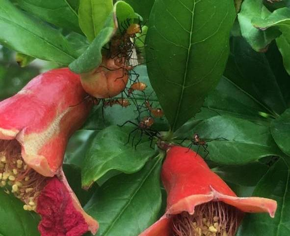 The hot weather brings out the leaf-footed plant bug that will infest your fruit trees and vege ...