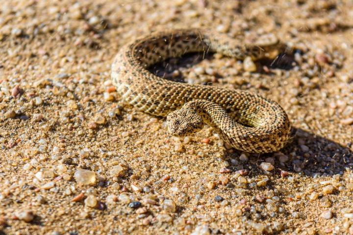 Sidewinder snake on a sand dune (Getty Images)