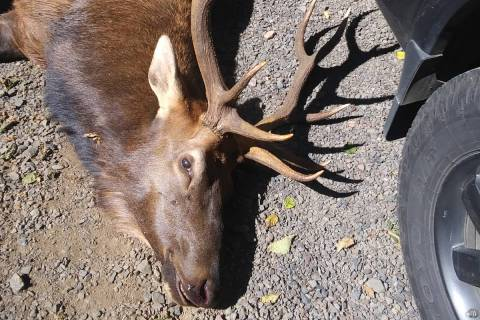 An Oregon bowhunter was killed by this 5-point bull elk when it gored the man in the neck Sunda ...