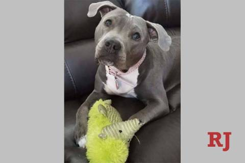 Athena was found chained and lifeless in a Las Vegas backyard before she was rescued and nursed ...