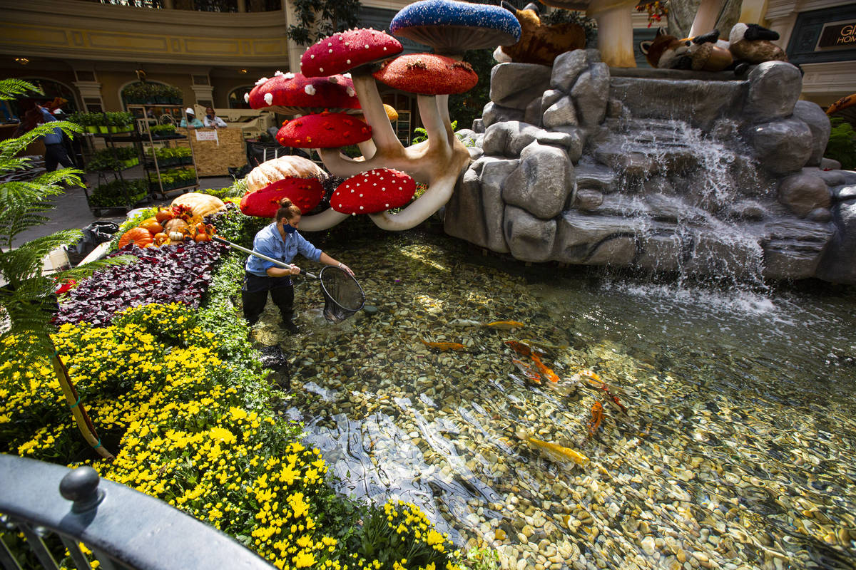 """Engineer Rachel Hughes returns koi fish to the pond for the """"Into the Woods"""" fall display at th ..."""