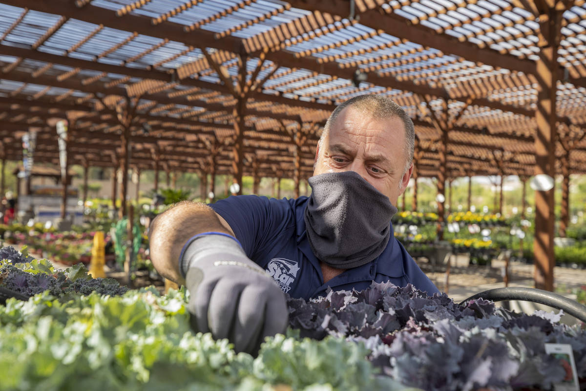 General manager Marco Marrocco prunes plants at Star Nursery off of W Tropicana Ave.,Thursday, ...
