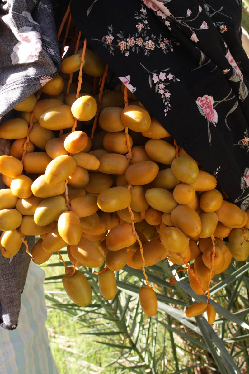 The dates at China Ranch Date Farm are harvested from September to December. (Deborah Wall Las ...