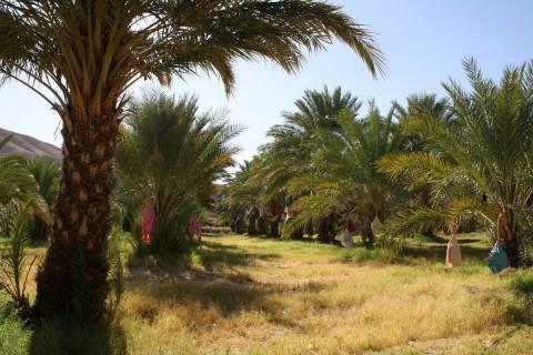 China Ranch Date Farm is located near Tecopa, California. (Deborah Wall/Las Vegas Review-Journal)