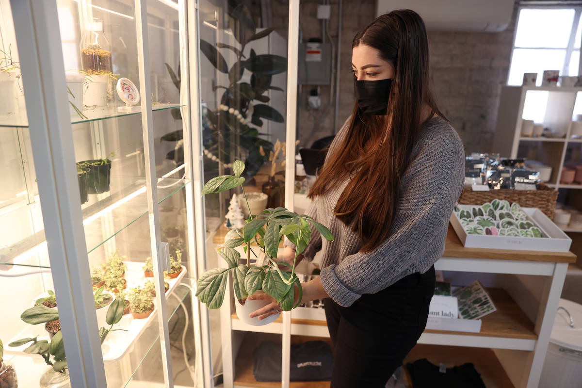 Carissa Beasley, owner of the LV Plant Collective store, shows one of her own plants, Amydrium ...