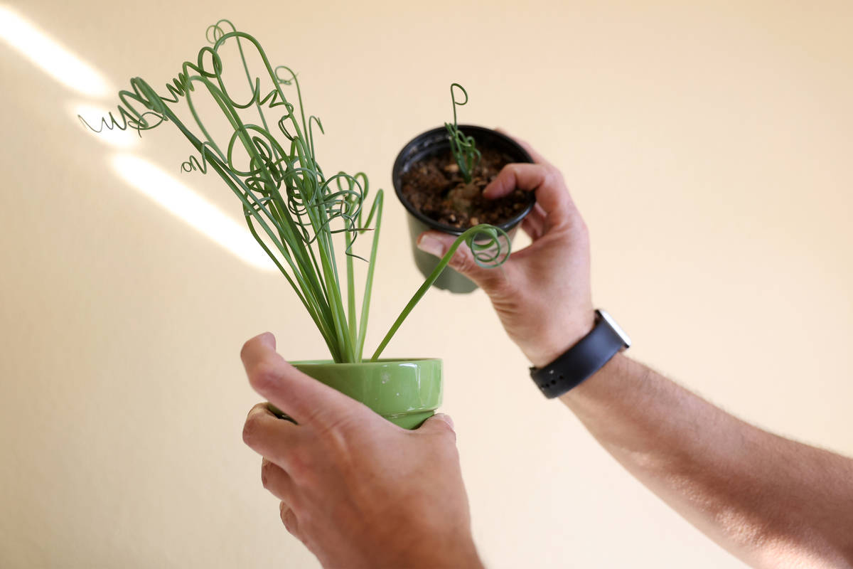 Plant enthusiast T.J. Dahna shows one his plants, a frizzle sizzle, at his home in Las Vegas on ...