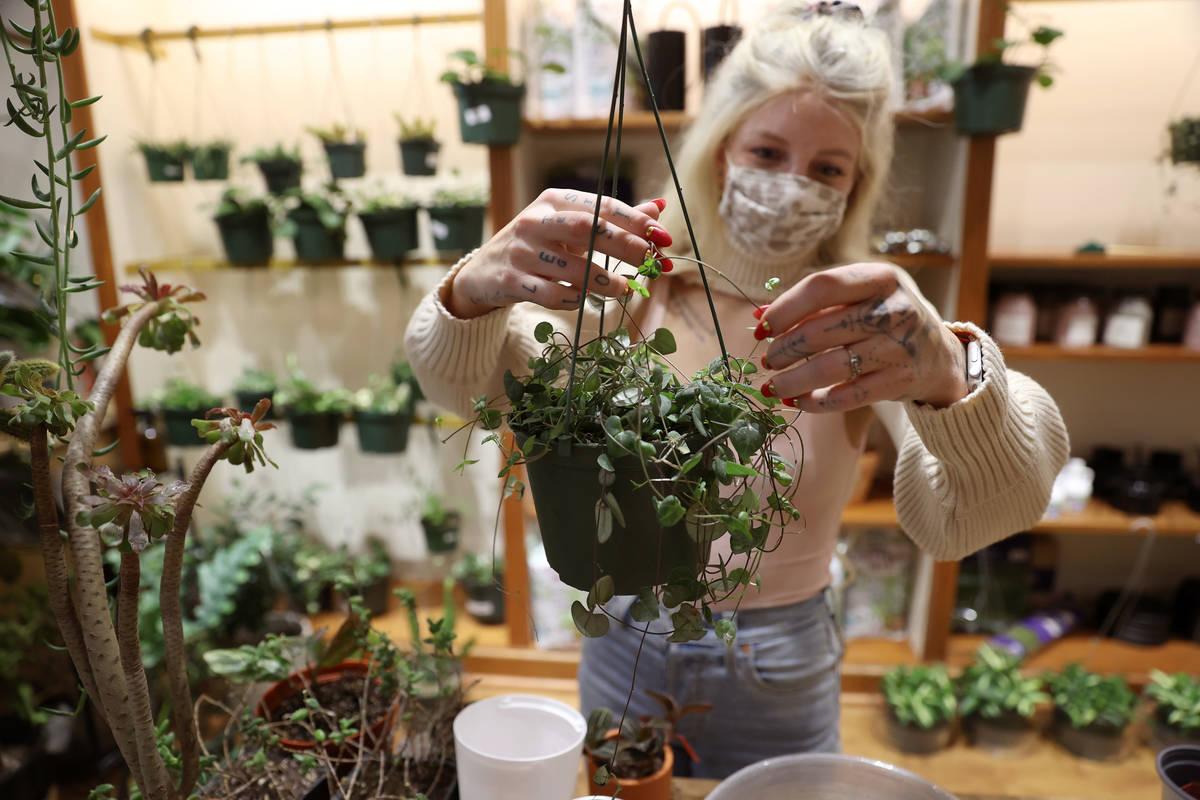 Sales associate Lauren Balous untangles a string of hearts plant at Carrie Lynn's plant shop ...