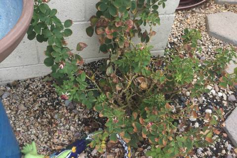 Roses don't like rocky soils in the long run, but rock works if roses are kept healthy. (Bob ...
