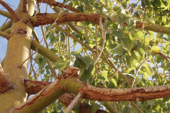 Bottle trees are highly susceptible to sunburn. (Bob Morris)