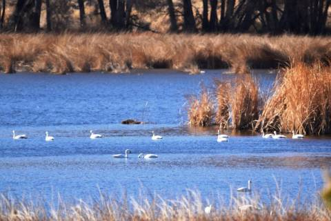 About 130 tundra swans are making Pahranagat Valley their temporary home this winter. (Natalie ...
