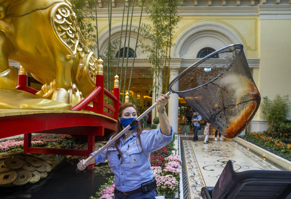 Engineer Rachel Hughes transfers koi into the pond as the Bellagio Conservatory & Botanical ...