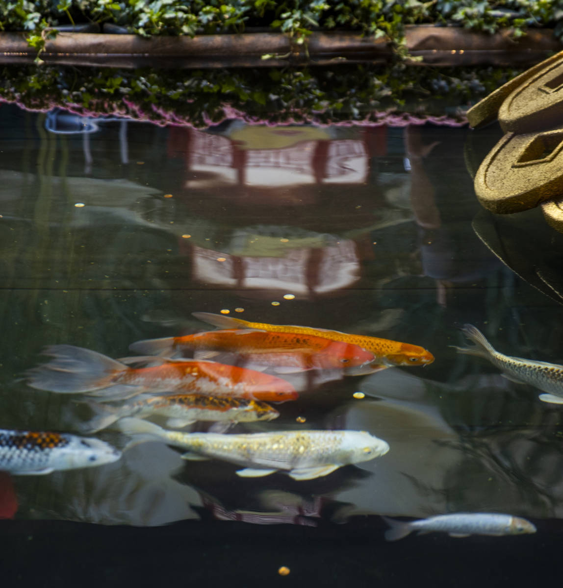 Koi swim in the small pond below two golden oxen as the Bellagio Conservatory & Botanical Garde ...