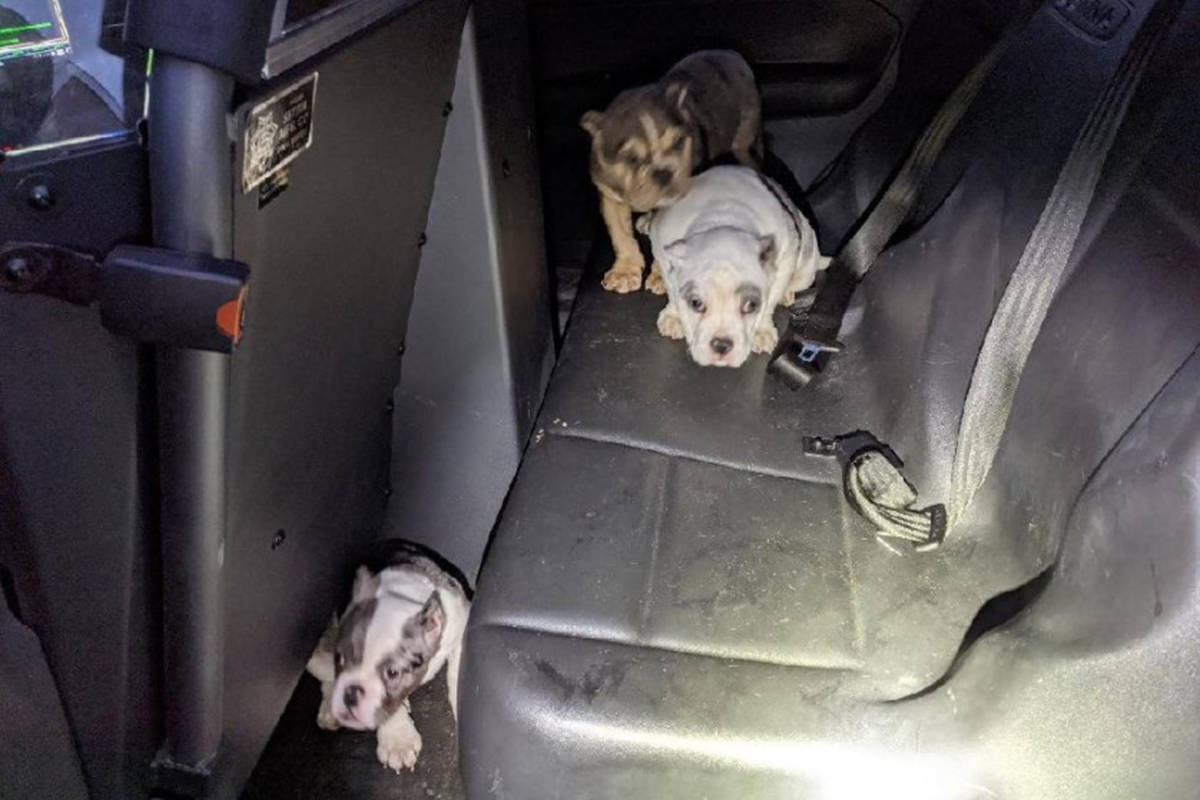 Three English bulldog puppies who were taken at gunpoint in northeast Las Vegas and later recov ...