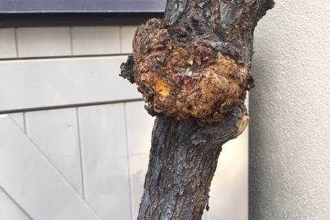 The woody growth on this peach tree looks like the early stage of bacterial crown gall disease. ...