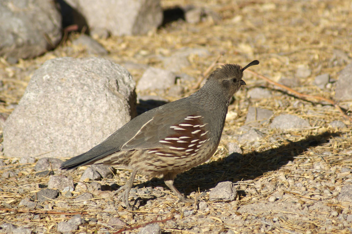 Dozens of Gambel's quail live under bushes and frequently forage at Sunset's Dunes Discovery Ar ...