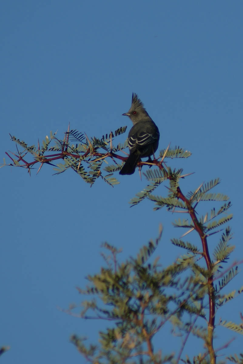 Close-up of a phainopepla, a regular sight at Dunes Discovery Area because of the presence of m ...