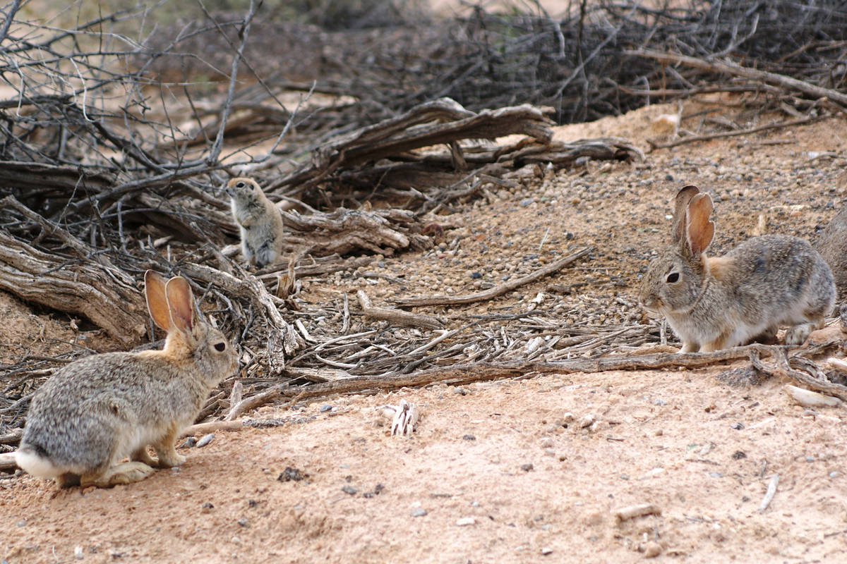 A pair of desert cottontails and a ground squirrel share space at Dunes Discovery Area of Sunse ...