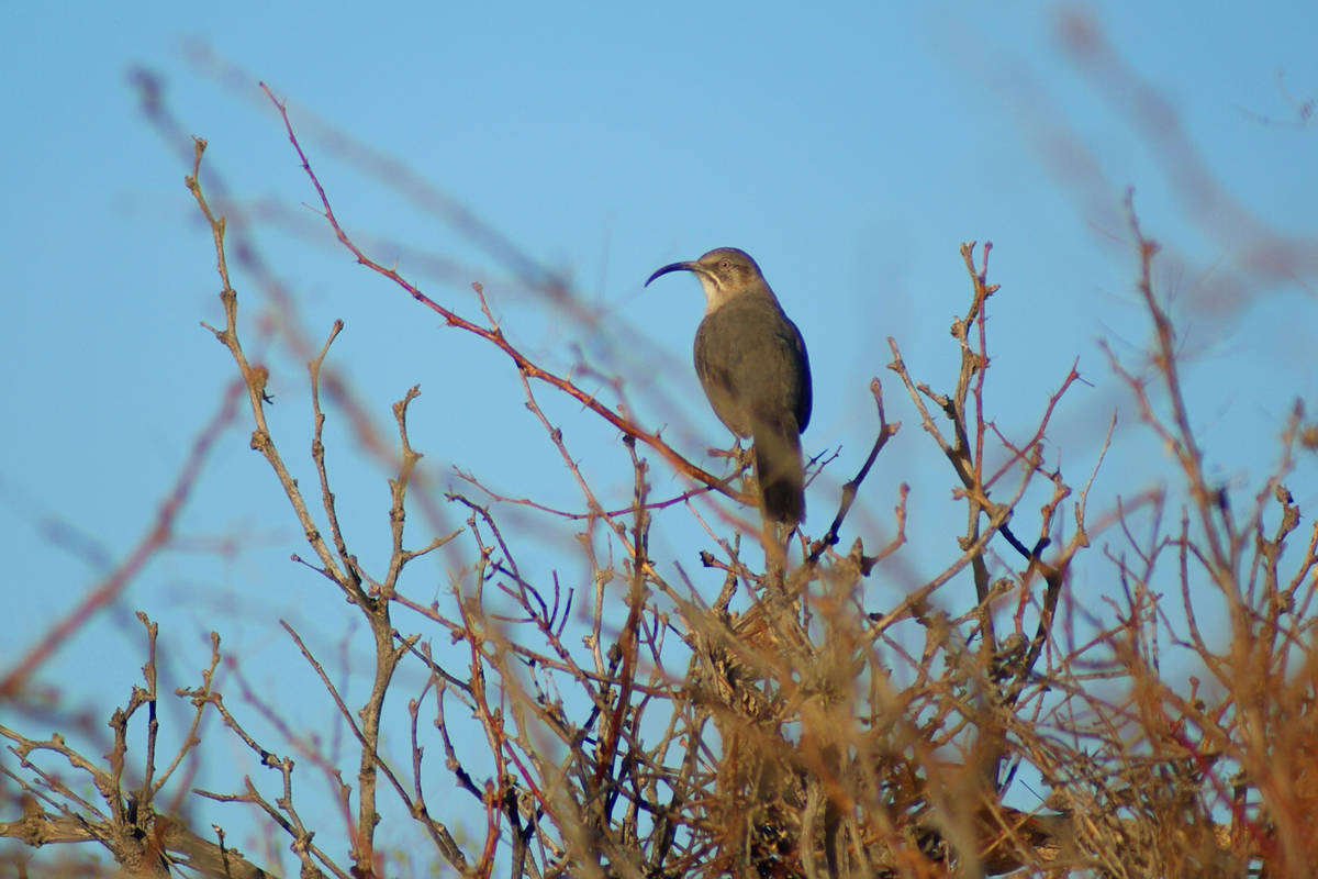 A desert-dwelling crissal thrasher in the bramble of Dunes Discovery Area. (Natalie Burt)