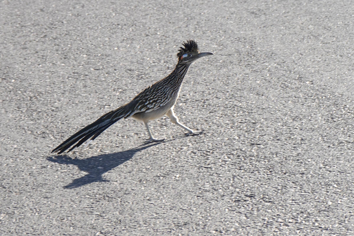 Greater roadrunner taking to a road at Sunset Park, where animals sightings are commonplace. (N ...