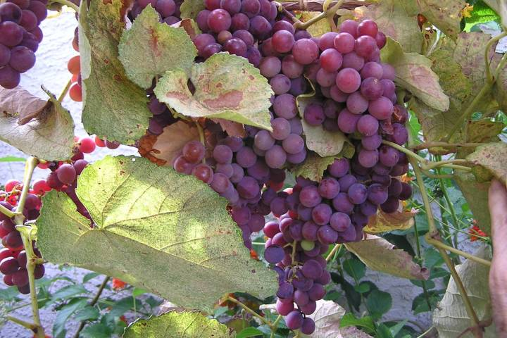 Concord grapes do well in Southern Nevada because the fruit is harvested late in the season whe ...