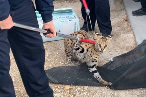 A serval cat native to Africa, was found recently in North Las Vegas. The North Las Vegas Polic ...