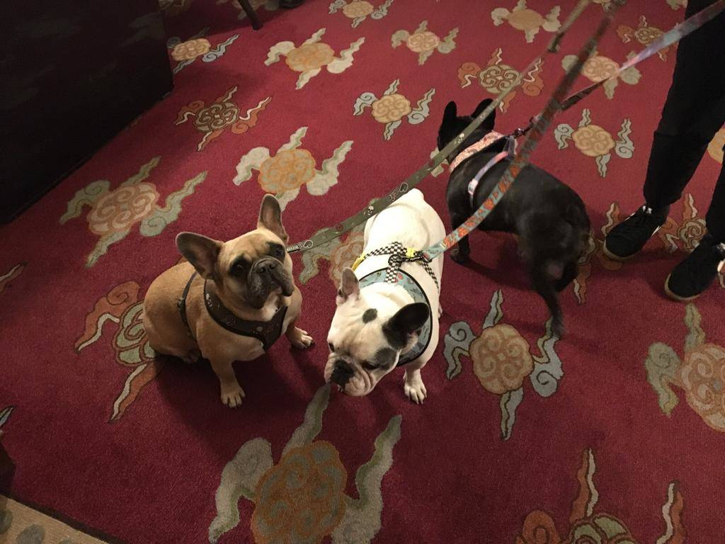 Lady Gaga's three French bulldogs are shown at The Mansion Dining Room in late-2019. (R.J. Cipr ...
