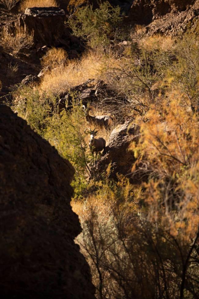 Bighorn Sheep climb down the cliffs of Black Canyon to drink. (Rachel Aston/rjmagazine) @rookie ...