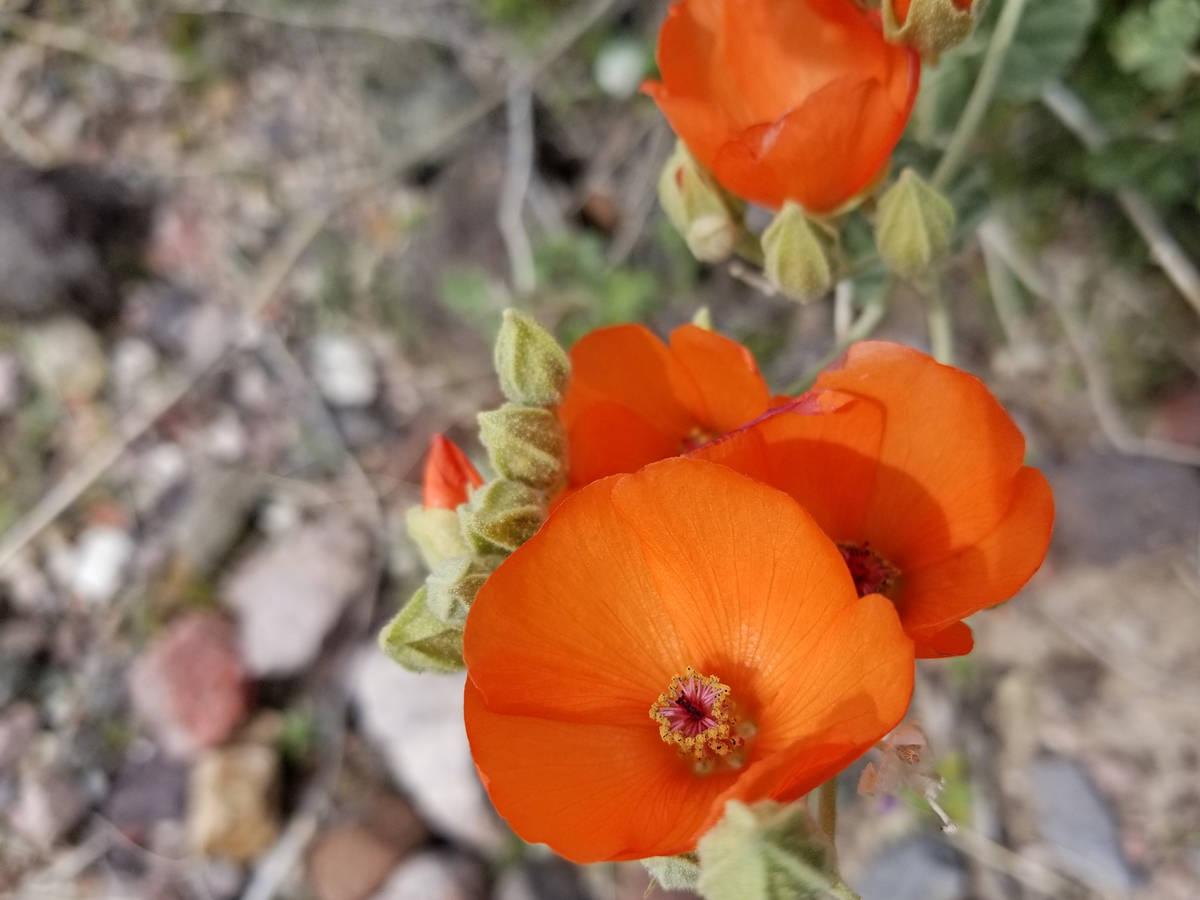 During the above-average wildflower season of 2020, reddish-orange and apricot desert mallows w ...