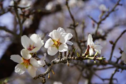Almond trees were blooming in early March in Corn Creek's historic orchard, which attracts hu ...