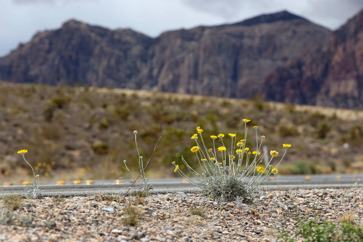 Wildflowers grow along State Route 157 in Las Vegas, Tuesday, April 27, 2021. (Erik Verduzco / ...