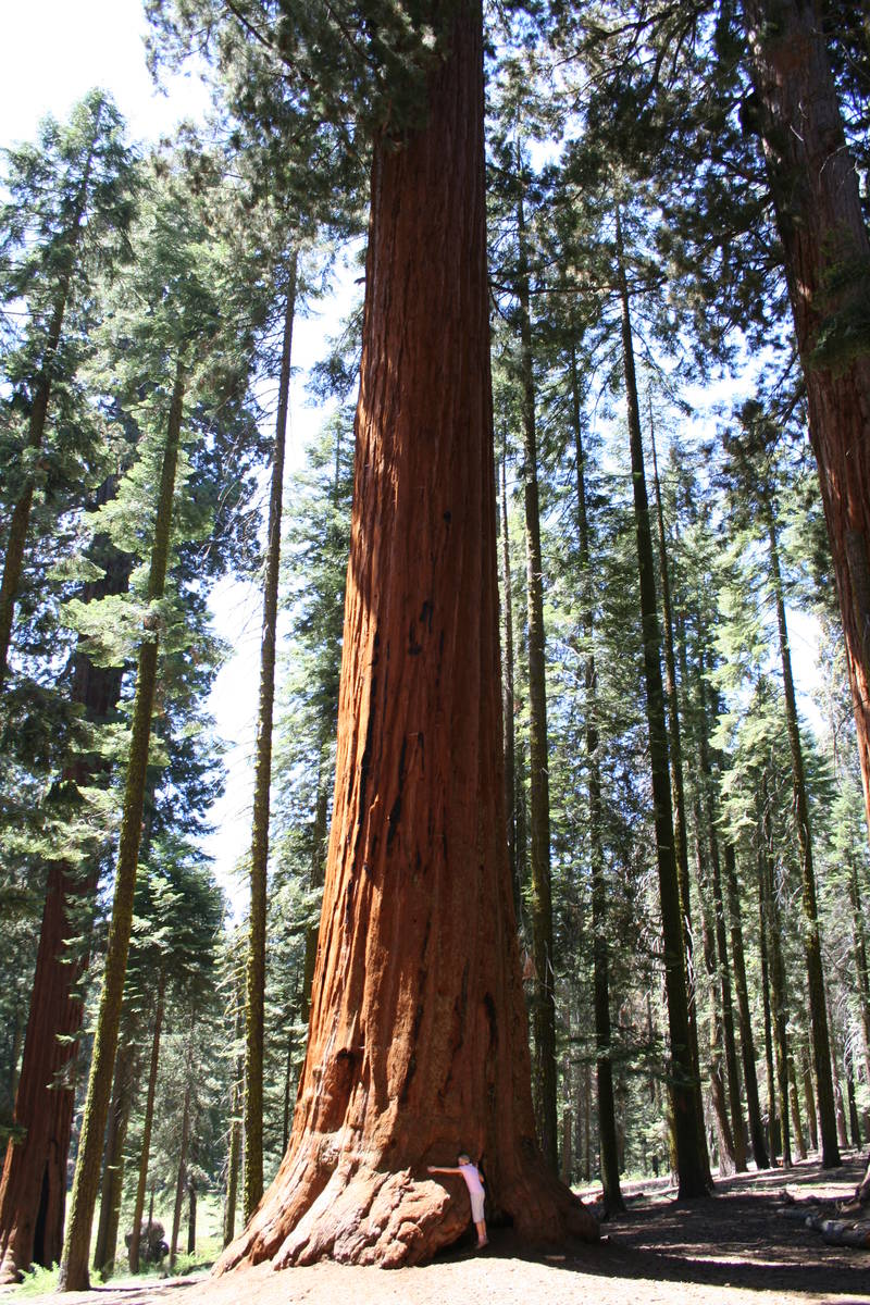 Look closely and you'll see a tree hugger in Sequoia National Park. (Deborah Wall Las Vegas Rev ...