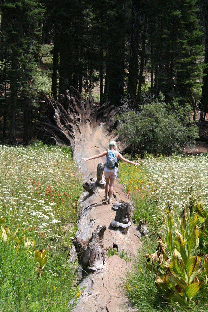 A child walk along a fallen sequoia tree in Crescent Meadow. (Deborah Wall Las Vegas Review-Jou ...