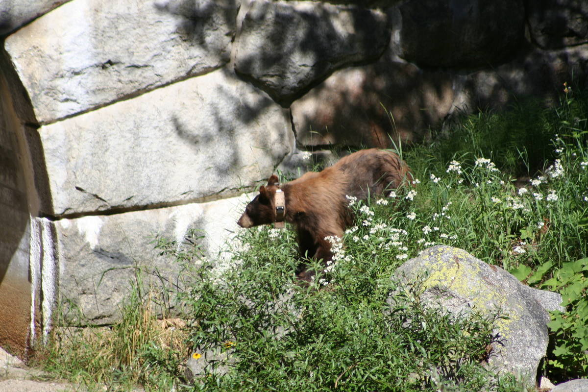 American black bears are found throughout the Sequoia and Kings Canyon national parks. Some bea ...