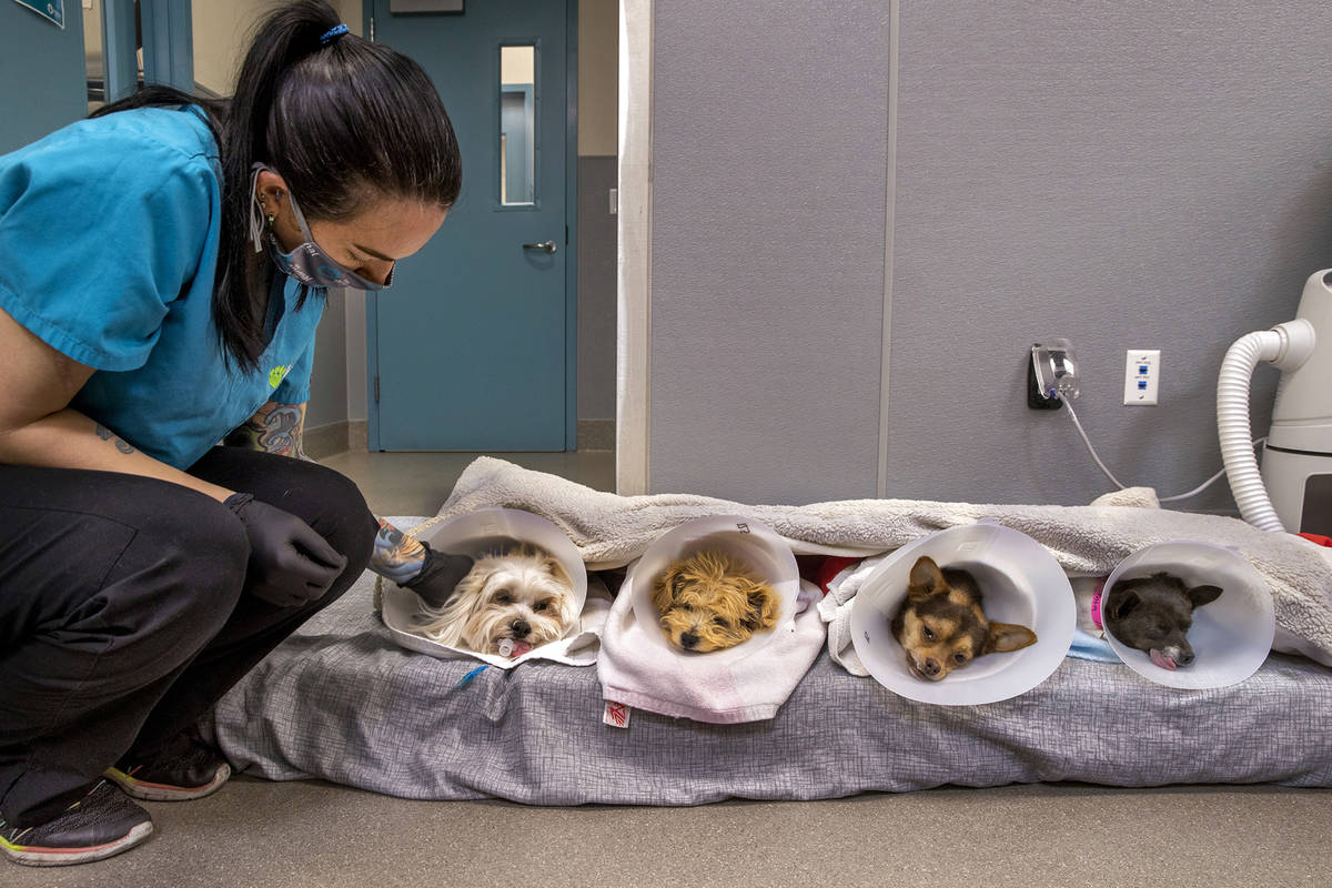 Veterinary assistant Danielle Moore checks on four dogs in recovery after surgeries. (L.E. Baskow)