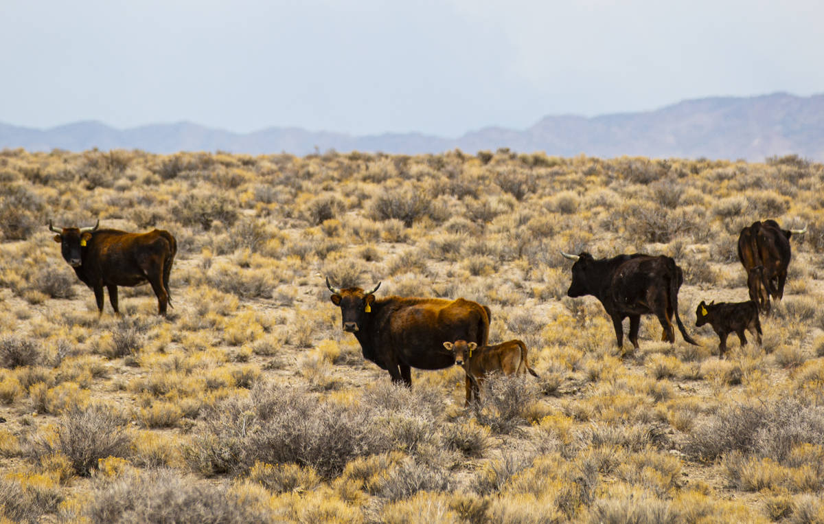 Cattle roam around in the Hot Creek Range along the Basin & Range trail route in Nye County ...