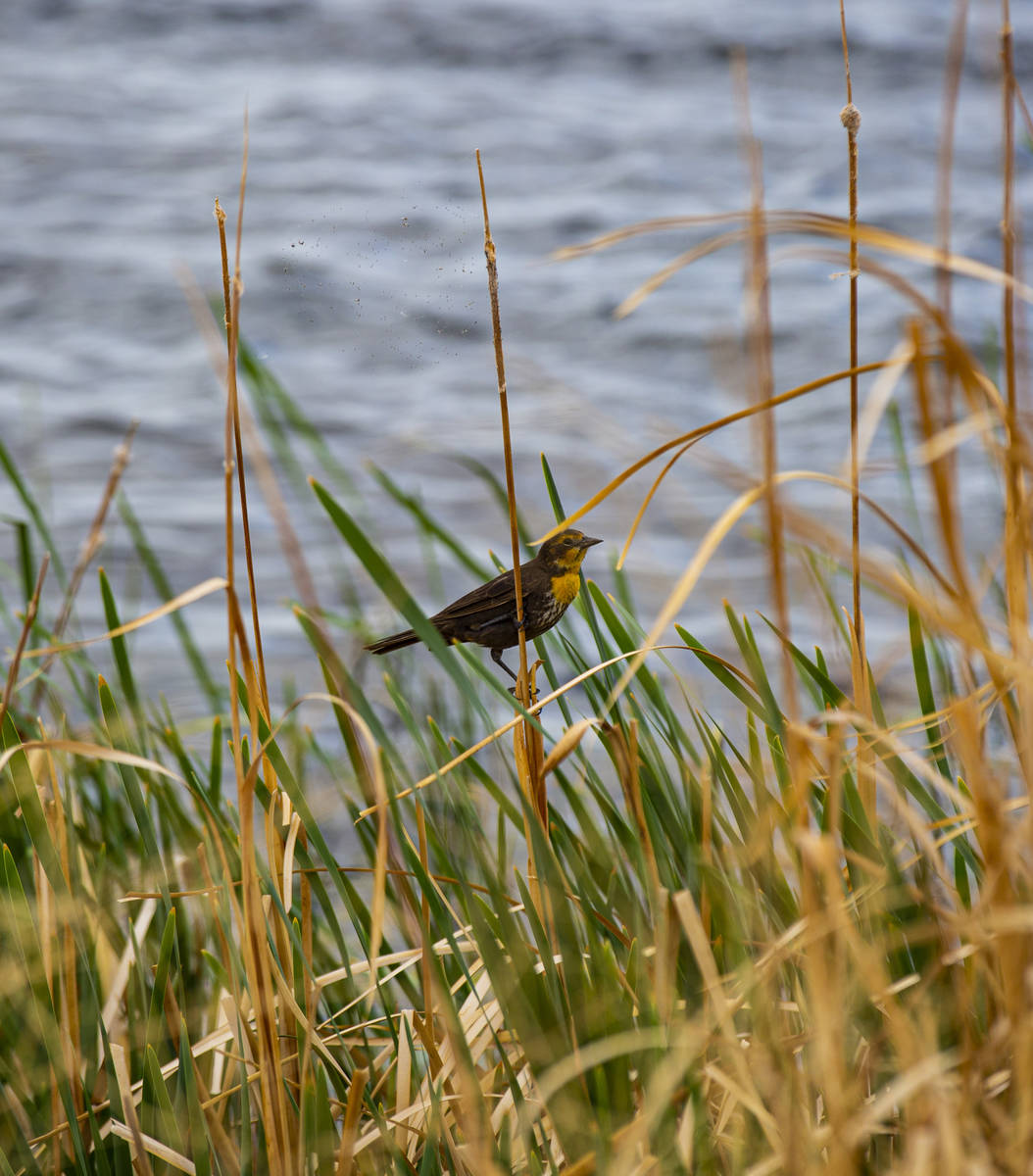 A bird perches by the Adams-McGill reservoir at the Wayne E. Kirch Wildlife Management Area alo ...