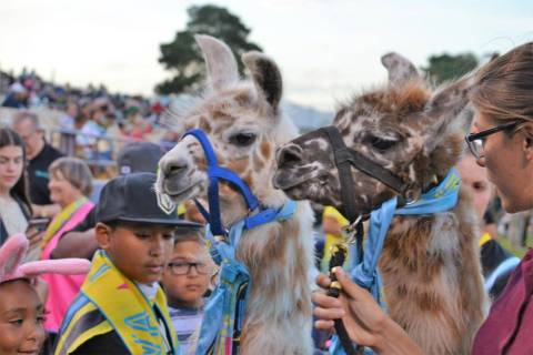 Dollie-Llama (left) and Dottie the Llama (right) are pet by fans at a Las Vegas Lights FC game. ...