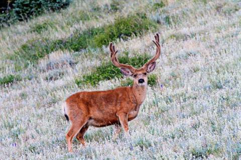 The amount of quality forage in the spring and summer months has a direct impact on a deer's ...