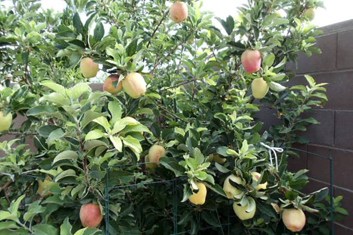 The Anna apple tree's fruit production is around mid-June, one of the earliest apple varieties. ...
