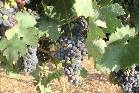 These tempranillo grape clusters, produced under the canopy of a trellised grape vine, are near ...
