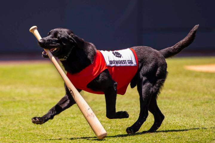 The Aviators bat dog Finn, a 5-year-old black lab, retrieves a bat during a game versus the Tac ...