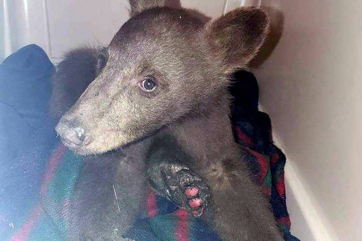 A bear cub is seen at Lake Tahoe Wildlife Care in South Lake Tahoe, Calif., after it suffered b ...