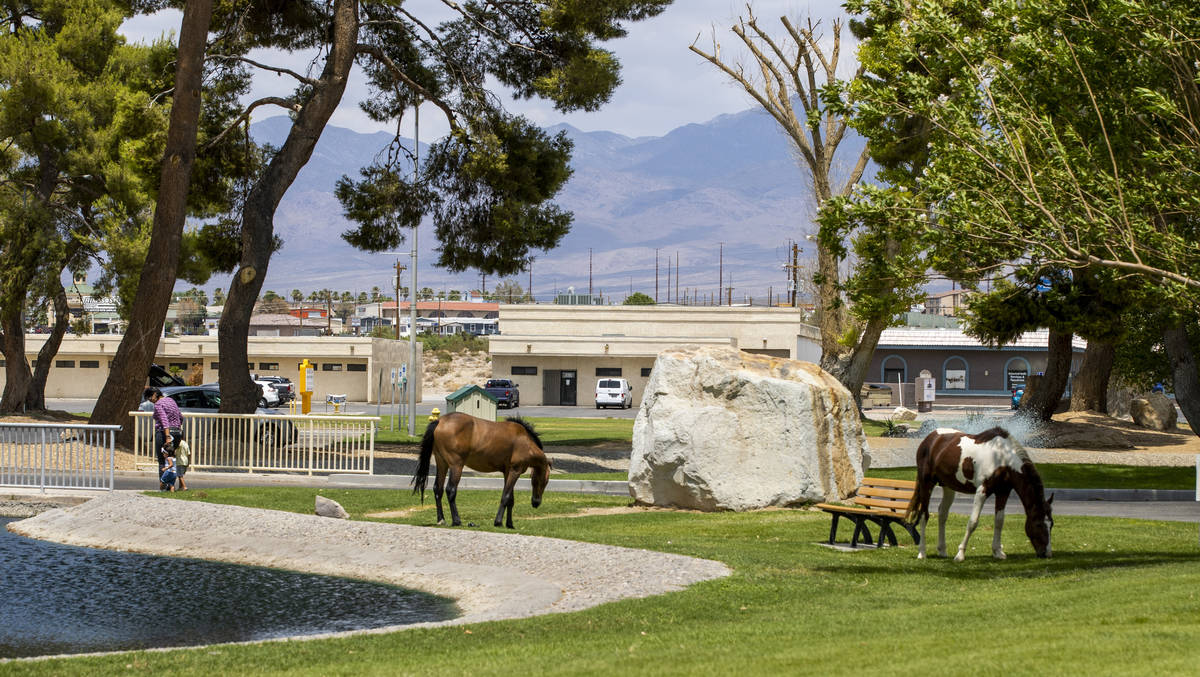 Wild horses graze about the Pahrump Town Office, television station KPVM there is the setting f ...