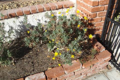 Euryops daisy grows best at temperatures from 40 to 100 degrees Fahrenheit. (Bob Morris)