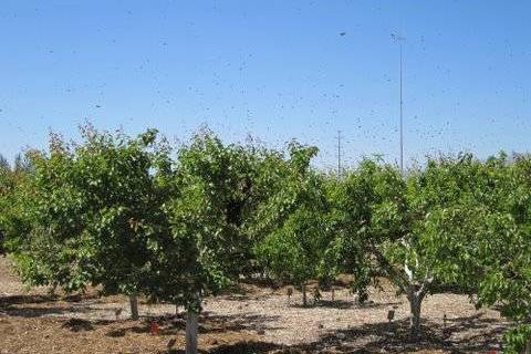 Honeybees swarm fruit trees in an orchard. Never spray a plant that is flowering with anything. ...