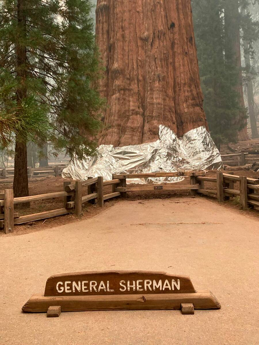 This photo shows the giant sequoia known as the General Sherman Tree with its base wrapped in a ...