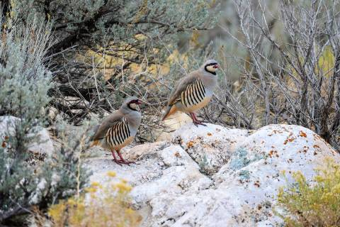 The chukar partridge makes its home on steep, rugged country, making it a tough quarry. Followi ...